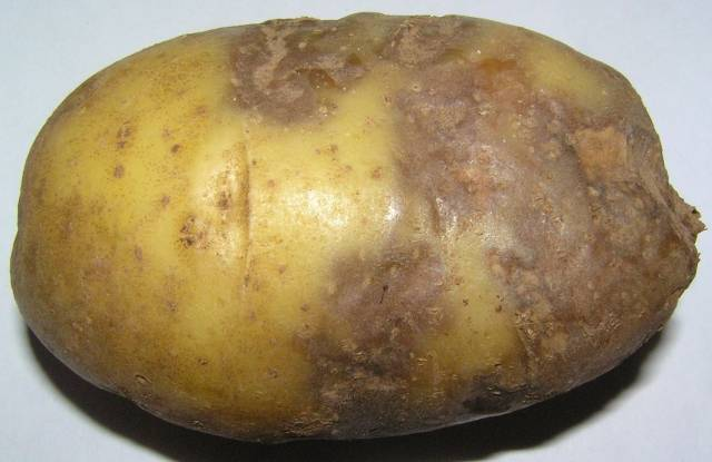 Борьба с фитофторой картофеля — химическими и биологическими средствами
