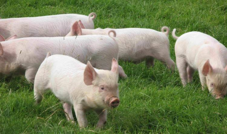 Чем болеют свиньи — симптомы болезней и их лечение