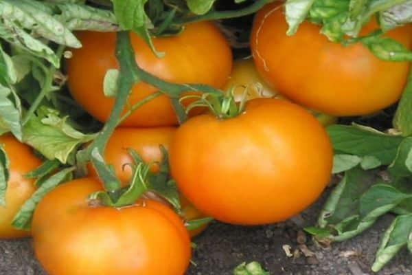 Помидорная экзотика — томат «апельсин» описание сорта, характеристика, урожайность, фото