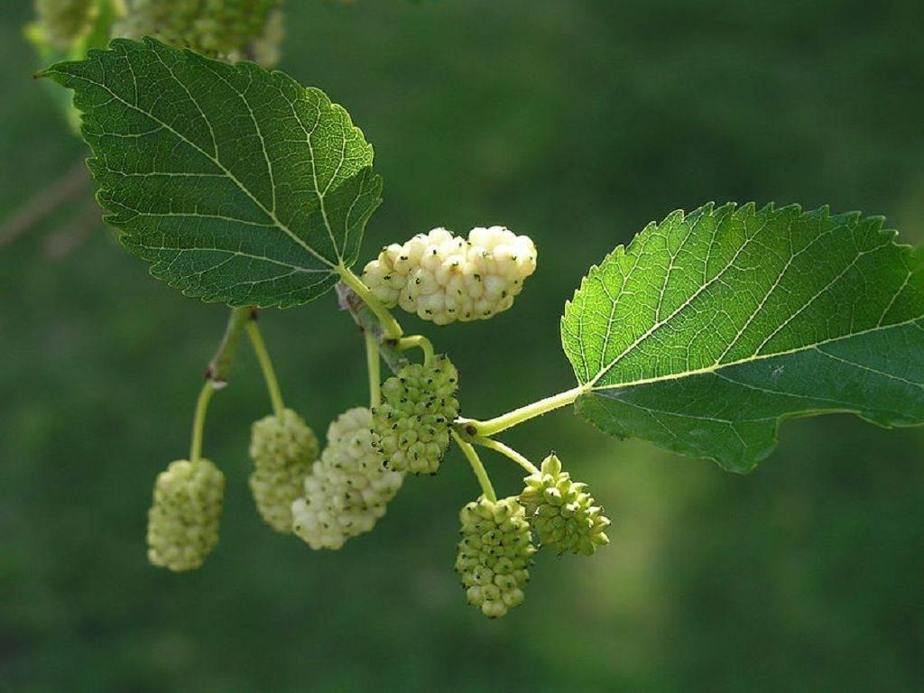 Шелковица: мужские и женские растения, выбор подходящего сорта и советы по выращиванию
