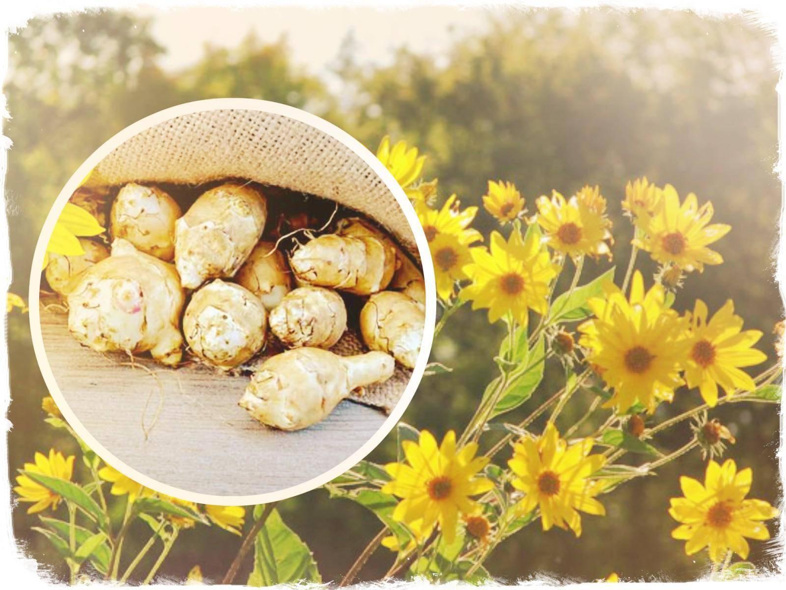 Топинамбур – полезные свойства и противопоказания земляной груши