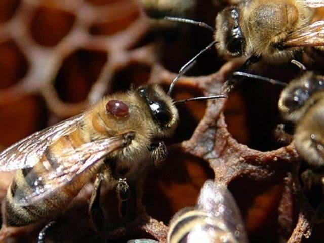 Нозематоз пчел: профилактика, симптомы и лечение, препараты
