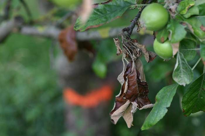 Распространенные заболевания груши и методы борьбы
