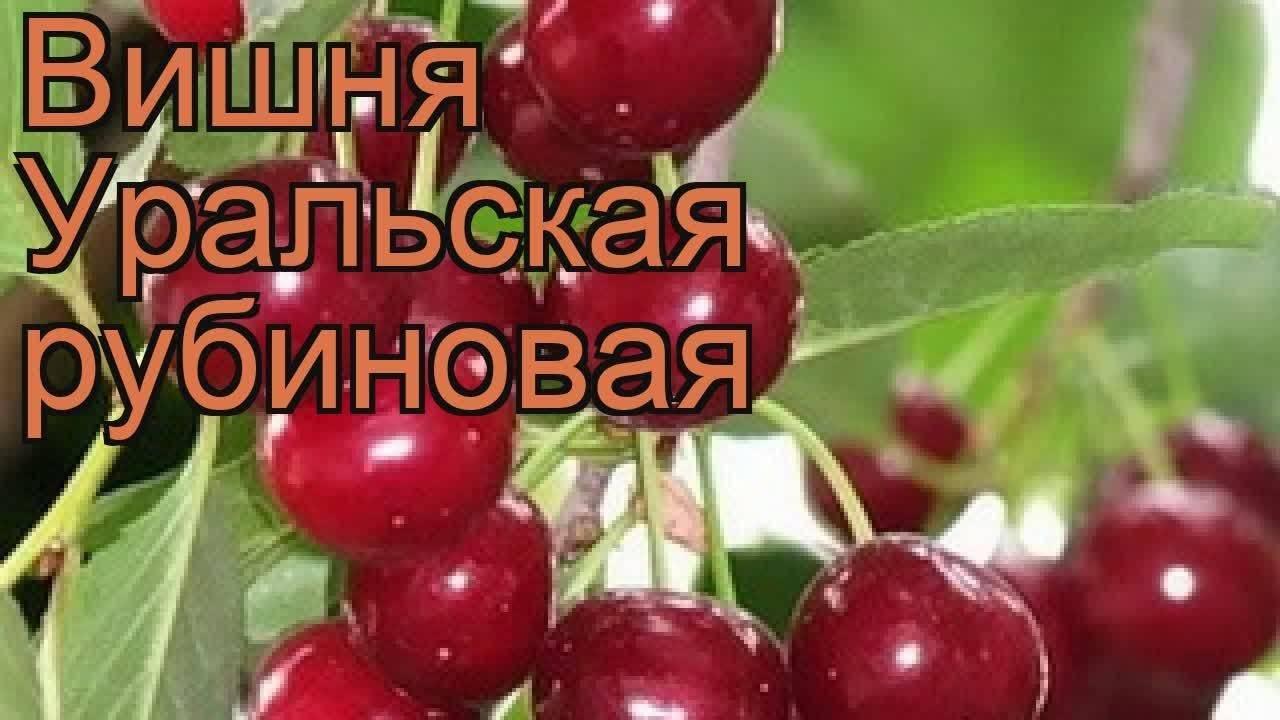 Сорт вишни загорьевская