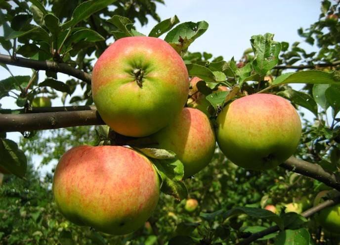 Яблоня орловим: описание сорта, фото, отзывы садоводов