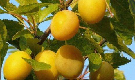 Венгерка – популярная слива отечественных садоводов