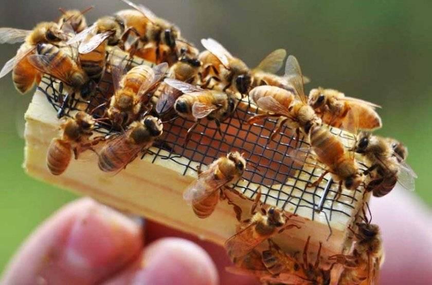 Способы размножения пчел: естественным и искусственным путем