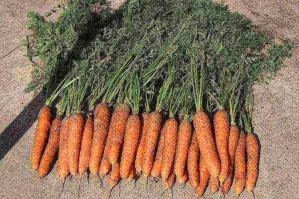 Чем обработать морковь от морковной мухи: чем полить из народных средств, как еще можно избавиться, как защитить посевы перед прореживанием и уберечь после него?
