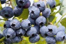 Голубика денис блю: описание и характеристики сорта, особенности выращивания