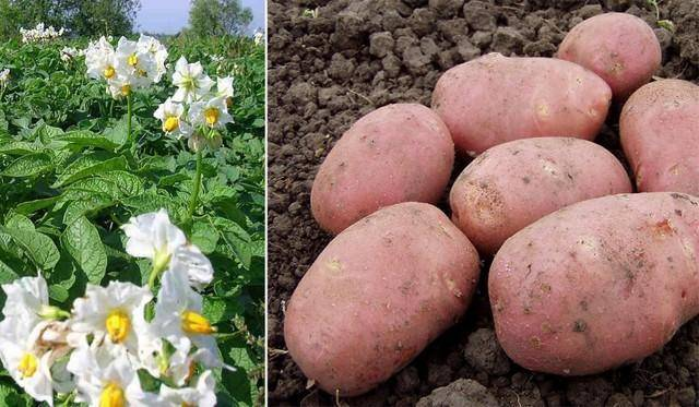 Картофель жуковский ранний — описание сорта, фото, отзывы