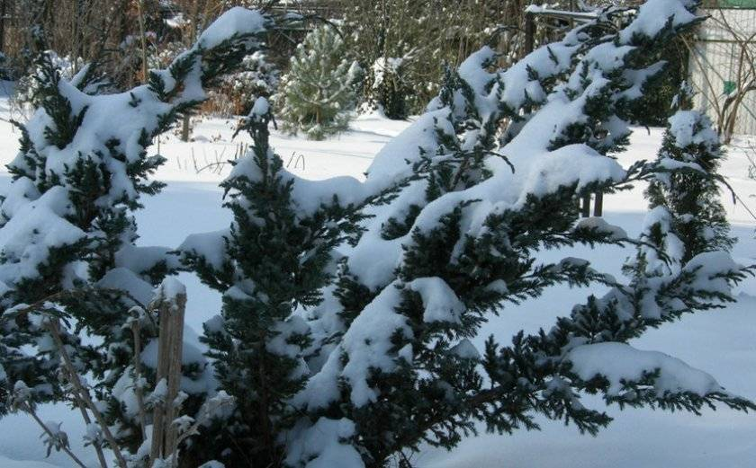 Можжевельник зимой и осенью
