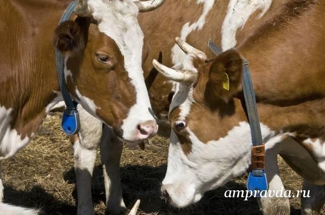 Вакцинация крупного рогатого скота: схемы и рекомендации
