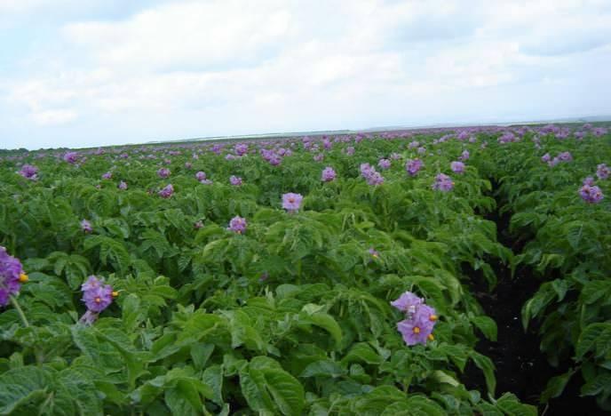 Все о скороспелом сорте картофеля колетте: описание и фото, выращивание, уход и другие нюансы