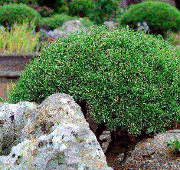 Сосна горная 'мопс', описание, фото, условия выращивания, уход, применение, болезни и вредители и болезни