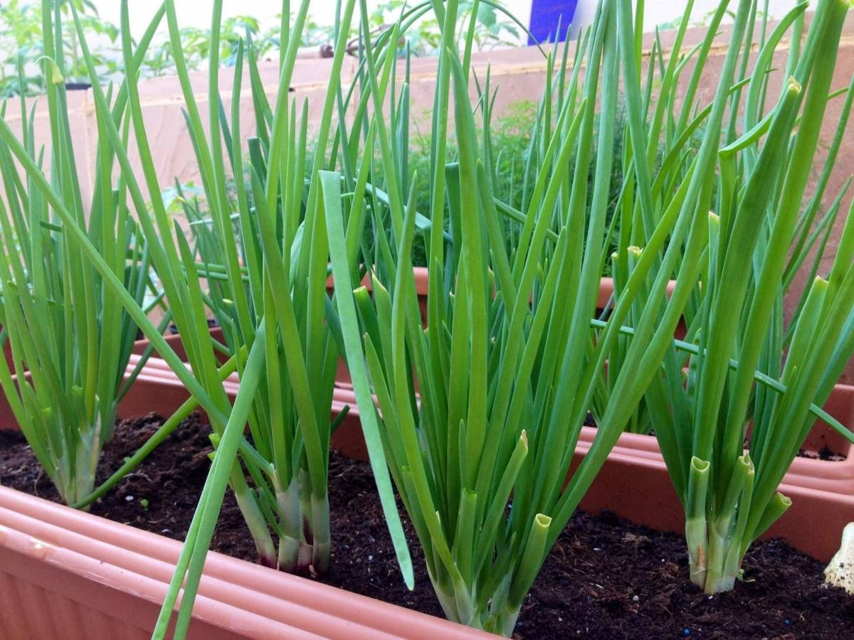 Как посадить лук-батун на подоконнике