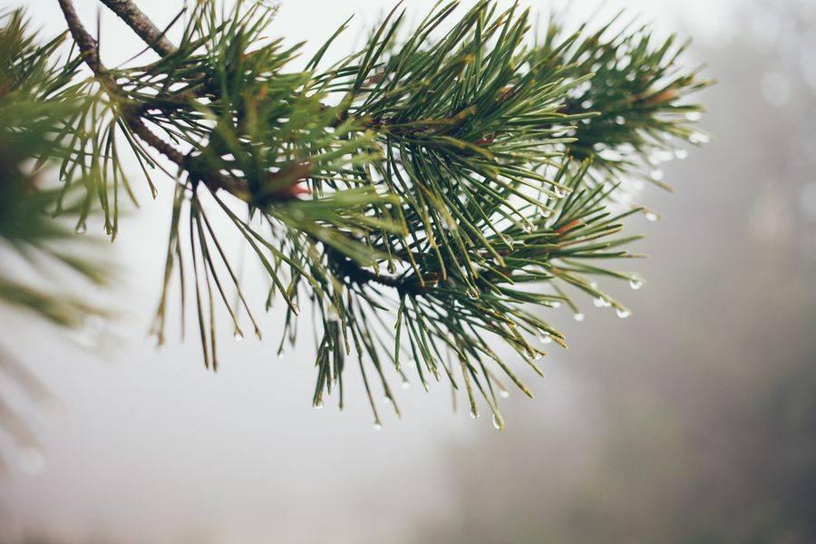 Почему на деревьях опадает хвоя