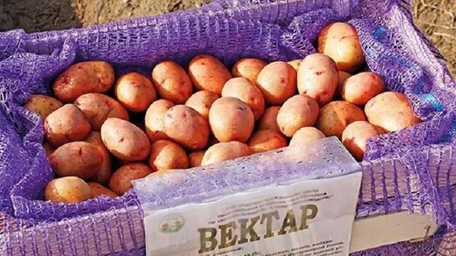 Картофель василий — описание сорта, фото, отзывы, посадка и уход