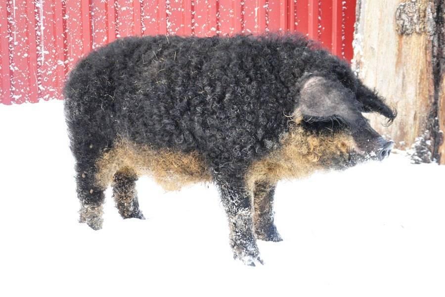 Плюсы и минусы свиней породы венгерская мангалица