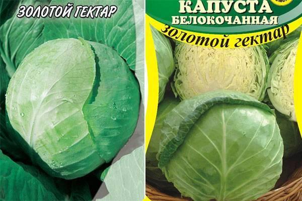 Особенности выращивания капусты «золотой гектар»