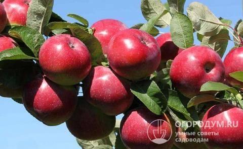 Яблоня Анис Свердловский: описание, фото, высота дерева и отзывы
