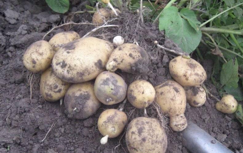Выращиваем картофель санте - общая информация - 2020