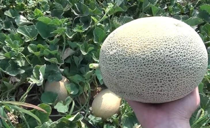 Популярные среди дачников сорта дыни