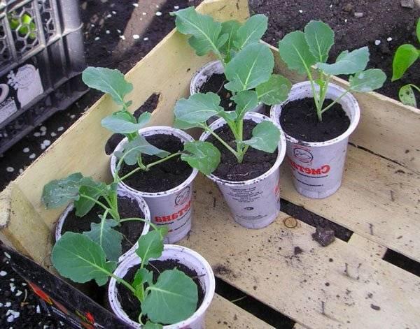 Когда лучше сеять капусту брокколи на рассаду и высаживать в открытый грунт