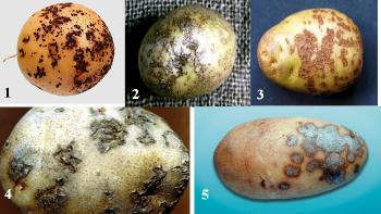Парша картофеля – описание, симптомы, фото, методы борьбы