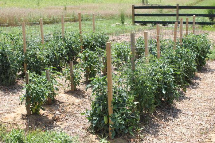 Томат диаболик f1: описание сорта, особенности выращивания и ухода