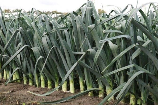 Лук-порей карантанский: описание сорта и технология его выращивания из семян