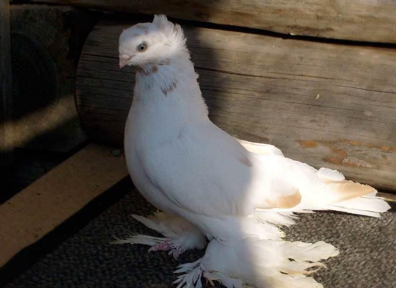 Бойные голуби: видео, фото, породы