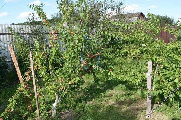 Алыча генерал — описание сорта, фото и отзывы садоводов