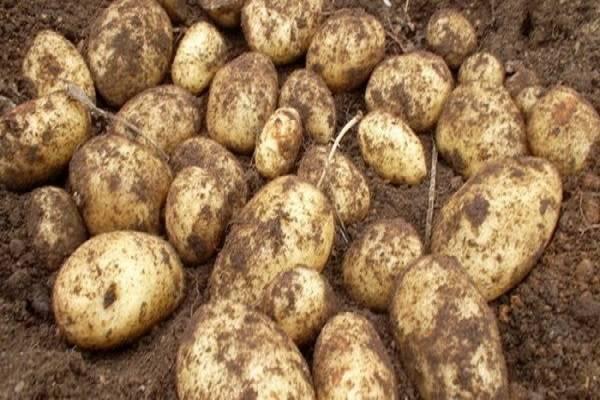 Картофель голубизна – сорт от отечественных селекционеров