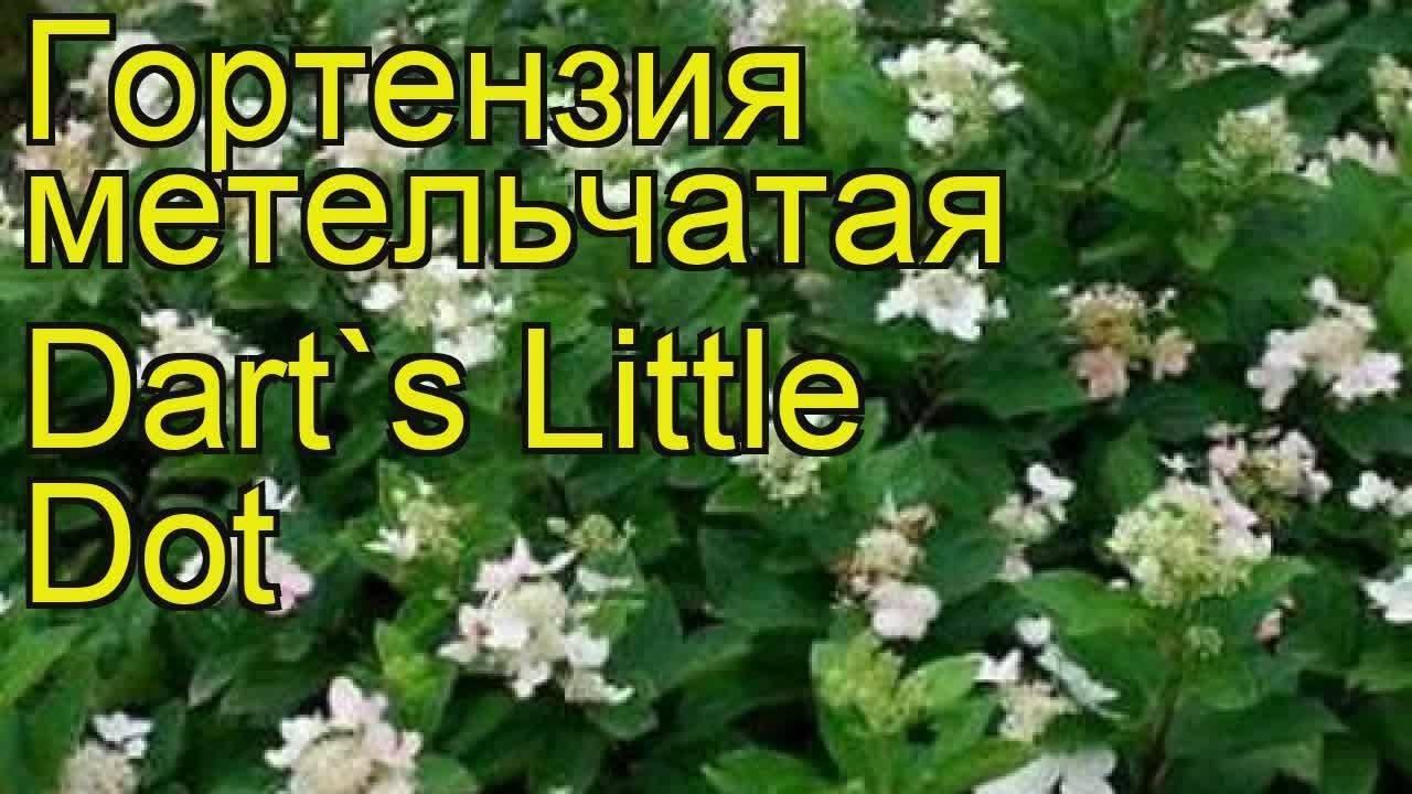 Гортензия метельчатая: уход, посадка. популярные сорта.