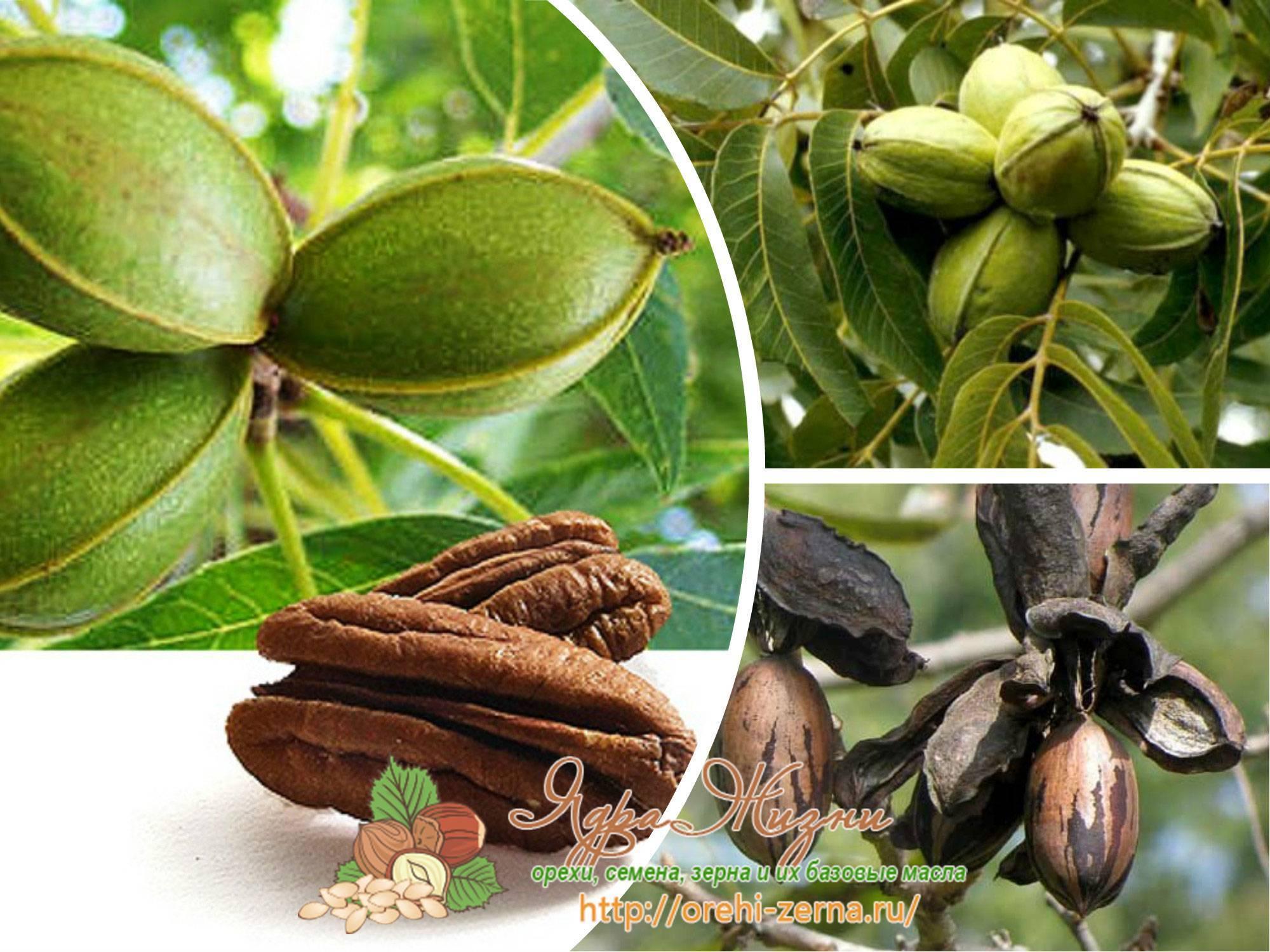 Орех пекан польза и вред для организма вкус свойства калорийность фото