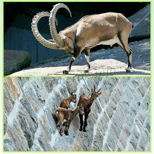 Почему так ценится альпийская порода коз