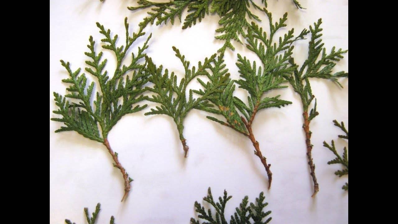 Размножение туи семенами в домашних условиях: сроки, посадка и уход