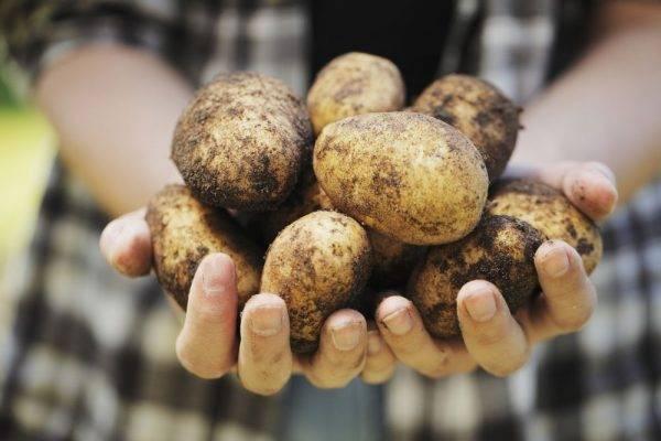 Картофель лидер — описание сорта, фото, отзывы, посадка и уход