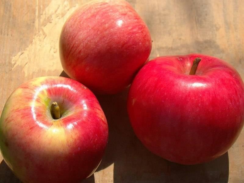 Характеристика яблони малиновка — медоносы, описание, советы, отзывы, фото и видео