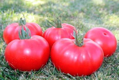 Томат «алтайский шедевр»: особенности выращивания и уход