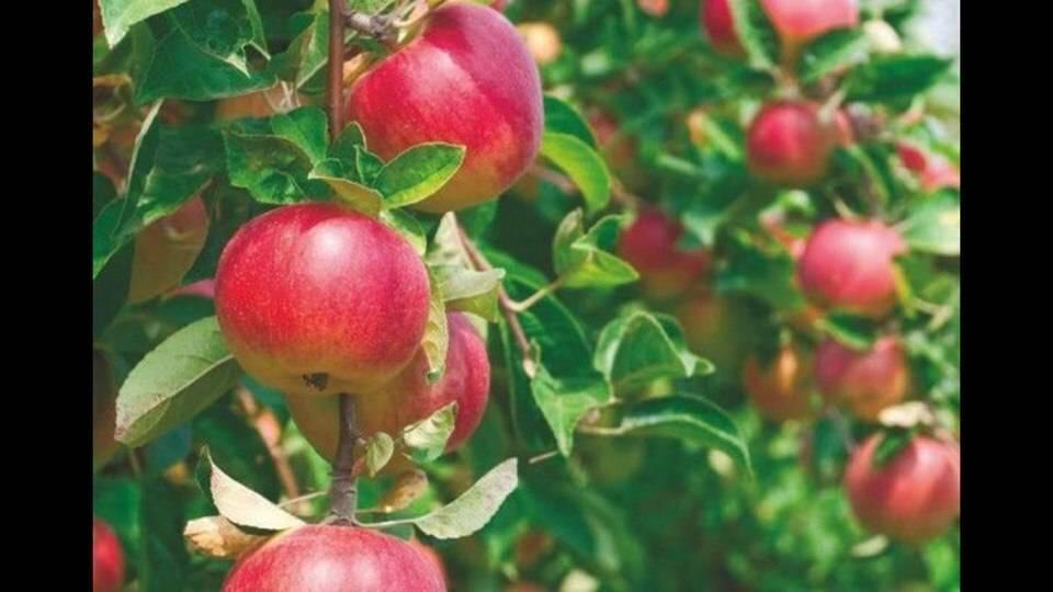 Осенний сорт, используемый в ландшафтном дизайне — яблоня малиновка декоративная