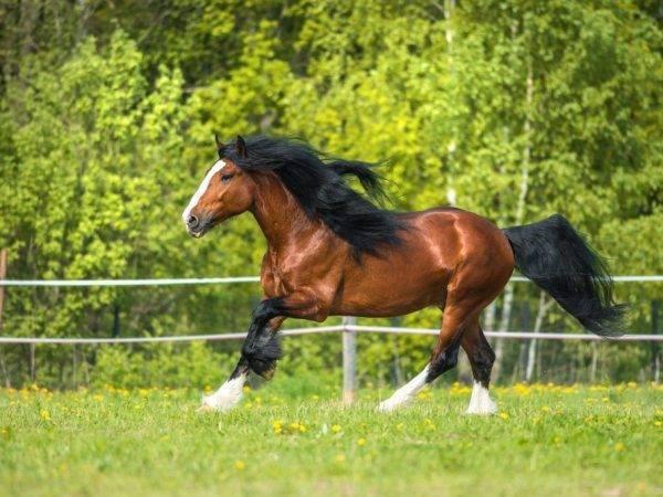 Владимирский тяжеловоз: характеристика лошадей, содержание и уход