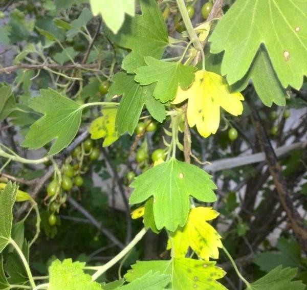 Что делать, если желтеют листья у смородины??? | красивый дом и сад