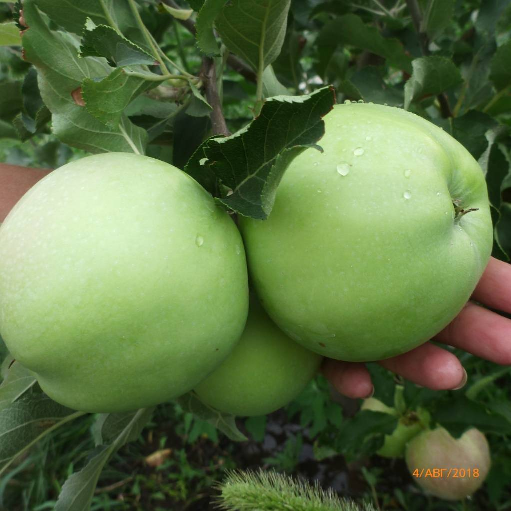 Сорт яблок спартан: описания и тонкости выращивания, фото и характеристики