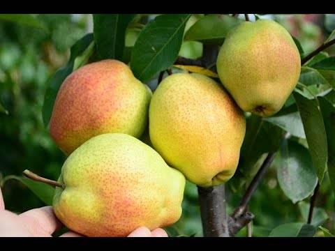 Дальневосточный высокоурожайный гибрид — груша «ноябрьская»