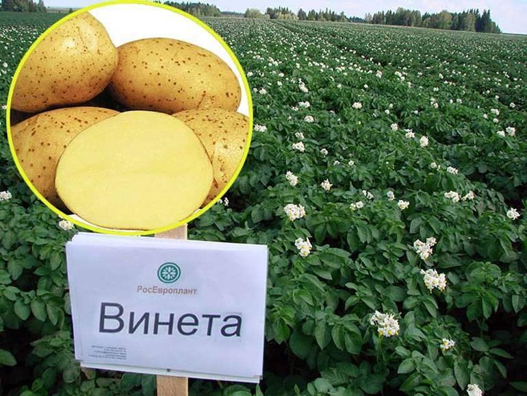 Картофель «венета»: описание сорта, фото, отзывы, особенности ухода и посадка