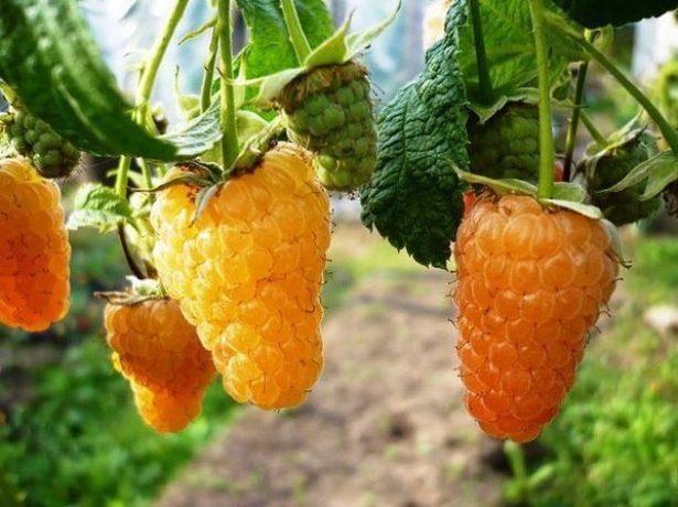 Малина оранжевое чудо: описание сорта и 6 особенностей агротехники