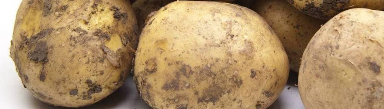 Картофель василек — описание сорта, фото, отзывы, посадка и уход