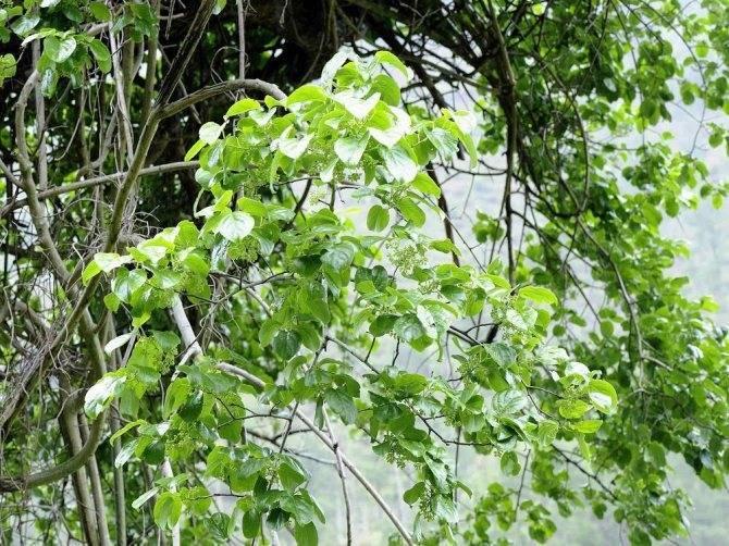 Древогубец: описание видов с фото, посадка и уход, лечебные свойства метельчатого древогубца