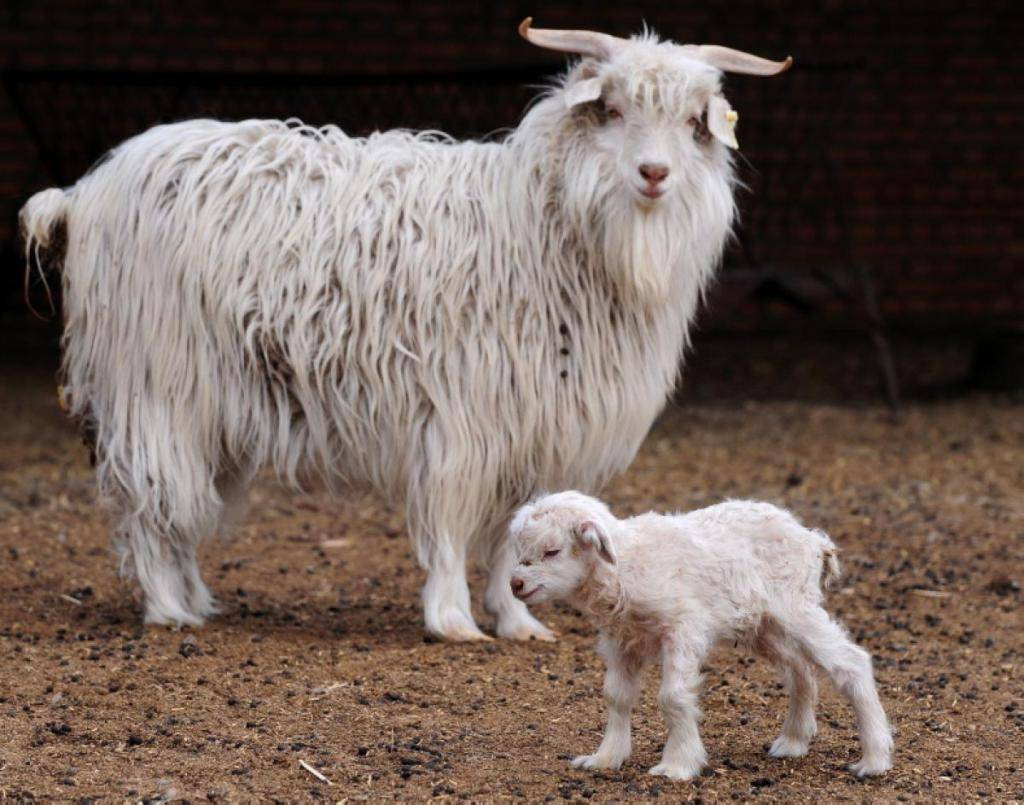 Коза альпийской породы – особенности разведения в разных странах